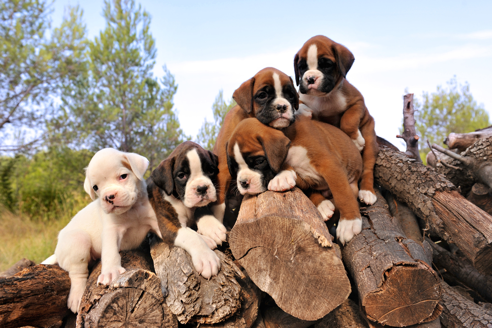 five-purebred-puppies-boxer-on-the-wood