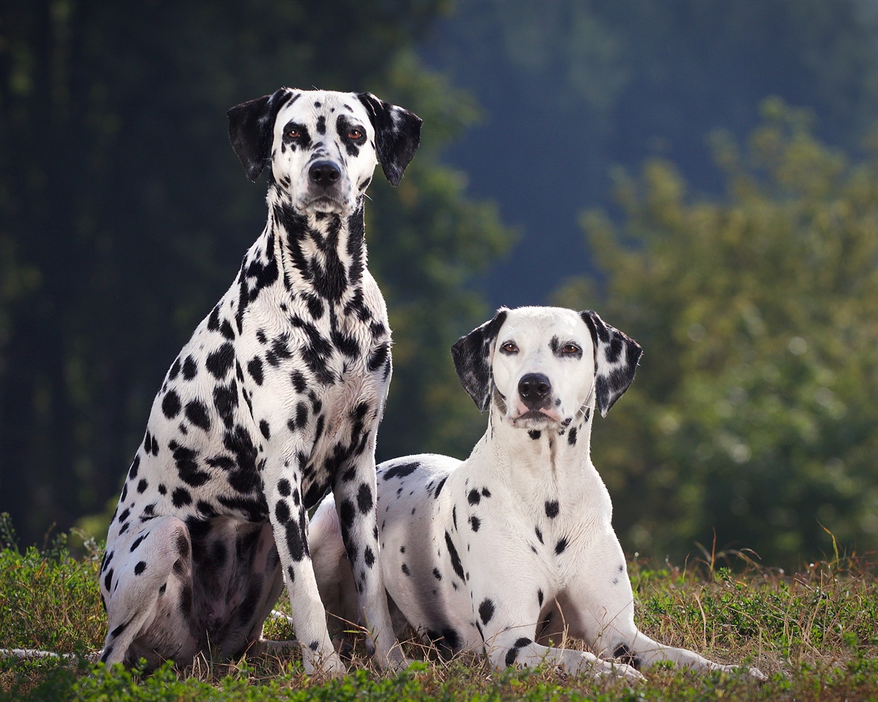 Dalmatian Dog Breed Info Pictures