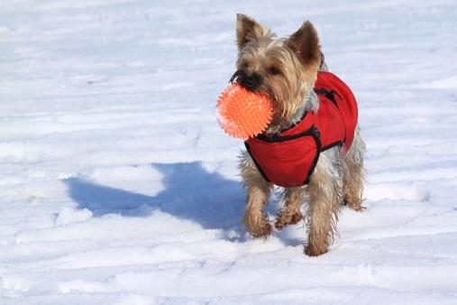 2014.11.18-vetiq-post-yorkie-dog