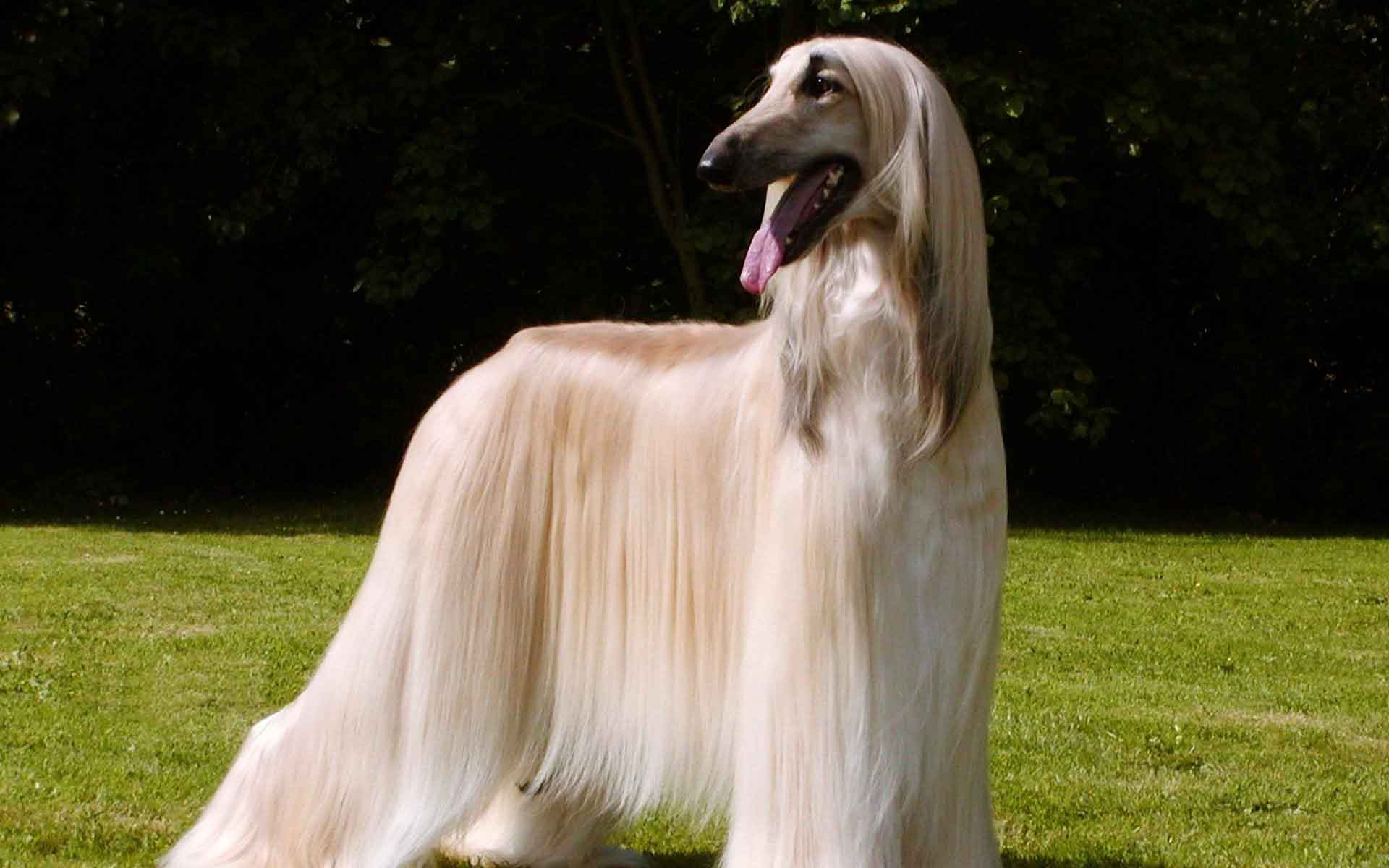 Return of the OLD AFGHAN HOUND: Pashmi Dog Breed Info and