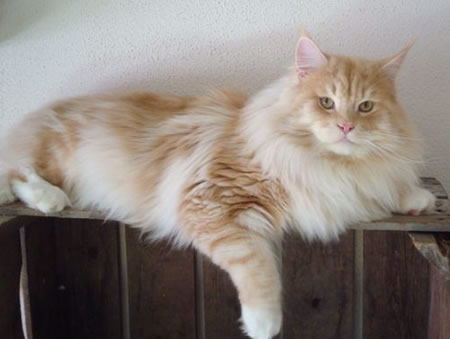Maine Coon Cats: World's Largest Domestic Cat Breed | Pets World