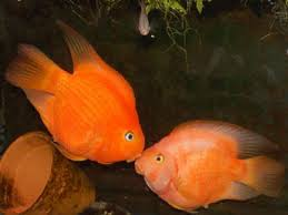 Which Fish Food Is Best For Aquarium Parrot Fishes Pets World