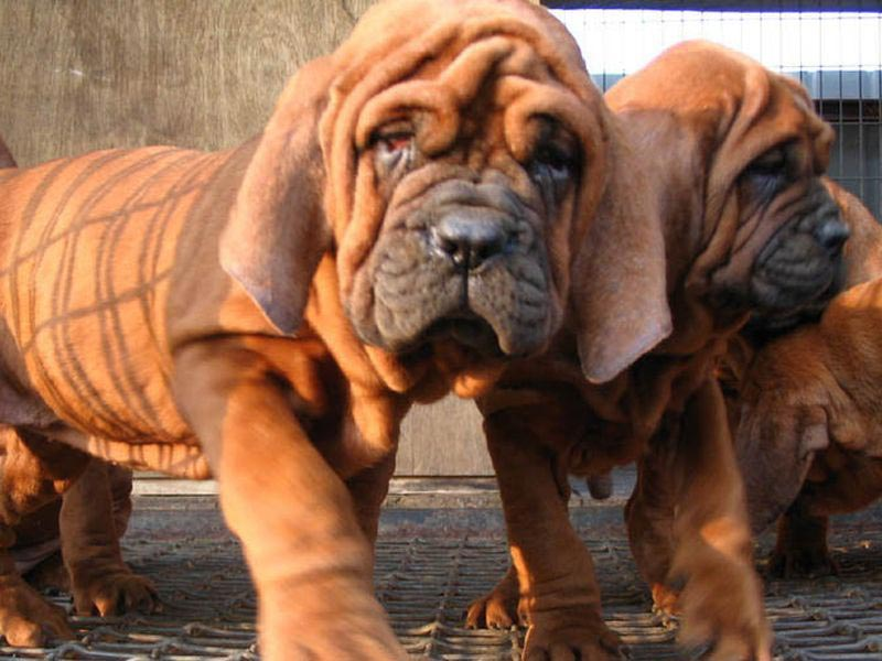 Most Expensive Dog Breed In India Korean Dosa Mastiff