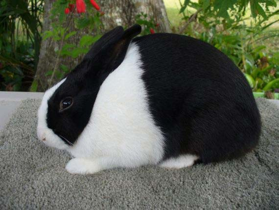 dutch rabbit 2