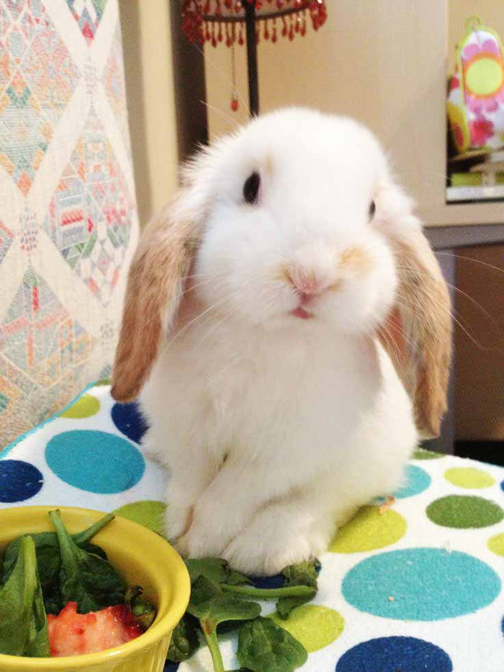 holland lop 2