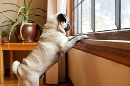 All dogs have an instinctual affliction to anxiety , mostly in minor magnitudes, when separated from their master.       Image Source -  www.purina.com.au