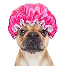 Pug in Shower Cap