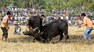 Indians watch a traditional buffalo fight in progress at Ahatguri, some 80 kms away from Guwahati, the capital city of India's northeastern state of Assam on 15 January 2014. The age-old buffalo fight is organised on the occasion of the harvest festival 'Bhogali Bihu' in Assam. PHOTO/ Biju BORO