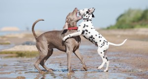 While meddling in a dog fight, Always remember not to yell to break up the fight. Do not get hysterical but stay calm even if you have to make a loud sound. Image: www.cesarsway.com