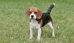 Beagle: This breed has short hair; however the coat may get a bit dense in winter weather. It is still important for the pet parent to provide a dog coat/jacket to the pet before stepping out for daily walks with it. Also keep the pet dog indoors for most part of the day barring the pooch's play and exercise time. Image source: http://www.vetstreet.com/