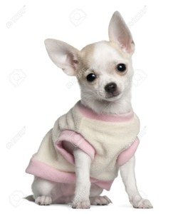 Chihuahua: The tiniest of all breeds originated in Chihuahua, Mexico. Its motherland is a warm desert, and the breed obviously exhibits a low tolerance to the cold. Chihuahuas have a short and thin coat. Another variety of this dog is born with a long coat. However in both cases the breed does not do very well in cold climate unless properly clad to deal with the winter. The dog parent must make arrangements with regard to cozy beddings and dog blankets sprawled across the rooms where the pet roams freely. Image source: http://www.123rf.com/