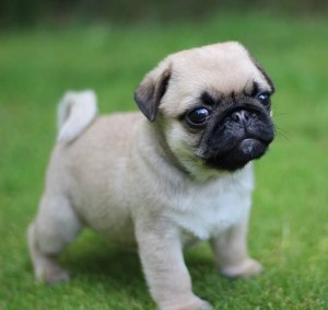 Pug: It originated in China. The pug has a short coat, making it vulnerable to chilly weather. Pugs do not tolerate the hot weather well either due to their short nose that limits the ability to pant properly and cool off the body. Image source: www.pinterest.com
