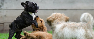 Play dates are a great learning experience for a dog that will not just learn how to deal with its own kind but will also help it to establish a certain role in the social ladder of its group/species. Image:https://digitaldoggydaily.com
