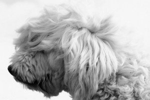 The sheen in dogs fur can be maintained by adding natural omega 3 supplements in your dog's diet. Image - www.cuteness.com