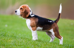 "The word BEAGLE translates to ""loudmouthed"" in French. Image - www.pawculture.com"