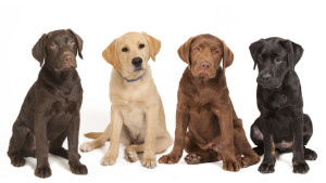 Labradors are the most popular dog breed in America and rightly so! image:dogtime.com