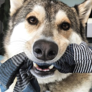 Make sure you keep small sized garments including underwear away from dogs that are aggressive chewers. Image- barkpost.com/