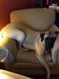 Mastiffs can sleep up to 18 Hours a day. Image - Pinterest.