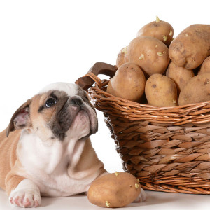 8.Potatoes: It should never be fed in its raw form. Peel the potatoes first and then cook/boil, mash or bake them. Once done with the preparation wait for the food to cool off before serving. A small portion given occasionally to the dog will definitely do some good by supplying it with additional iron. Never use oil/butter, milk, salt or spices while cooking potatoes as they can only be offered to the pooch in its plain/insipid form.