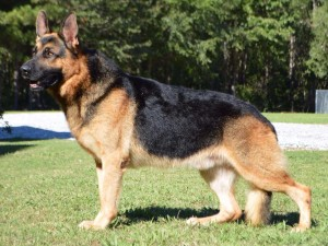 2.German Shepherd: It has assumed global popularity owing to its intelligence, courage and accommodating nature. This loyal companion when constructively busy is at its happiest best. German shepherds take instantly to training and tasks. This breed excels at sporting competitions/events too. Image http://marketplace.akc.org/