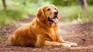 3.Golden Retriever: Originally from the U.K, Golden Retrievers just like Labradors love to please their favorite humans. Hence training them is a breeze. Image http://buzzsharer.com