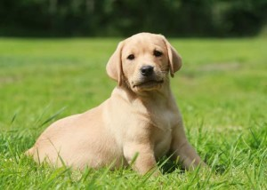1.Labrador Retriever: Topping are list are Labrador retrievers with their friendly, pleasing and cheerful disposition. This intelligent dog that originated in Canada and USA, will win your heart with its zest to keep its master happy no matter what. Image http://www.vetstreet.com