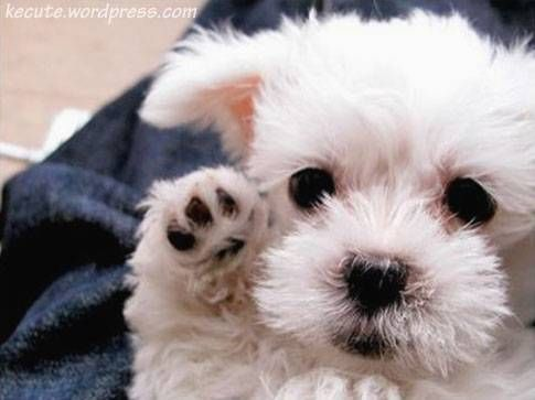 This gentle breed featured in Animal Planet's list of top 10 best lap dogs. Need I say more? This little dog is well mannered and extremely loving. Maltese are laid-back, but they are more than eager to play and indulge in some fun. Image: https://in.pinterest.com