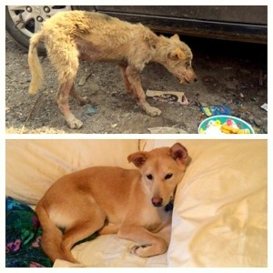 Befor and after pictures of a lucky stray dog who got adopted. Image - lifewithdogs.tv