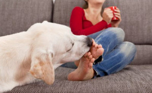 The taste of salt and other secretions can help the dog garner a great deal of detailed info concerning the person involved. Canines are also attracted to the sweat on our feet as its salty taste appeals to them. Image-www.labradorretrieverguide.com
