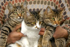 Indian cats are beautiful and feisty felines and can live upto 15 years if taken well care of. Image-care2.com