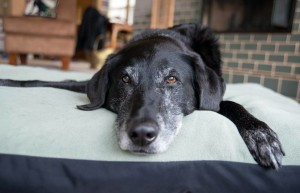 Senior Dogs do not welcome long-distance travel. Also make sure in your absence the dog isn't made to shift to a doggie boarding. Get some relative or pet-sitter to fill in your absence within the secure and familiar environs of the home.Image-www.mnn.com