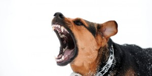 A loud bark with full teeth display may indicate fear, anger and aggression in dogs. Image:www.ditsletselschade.nl