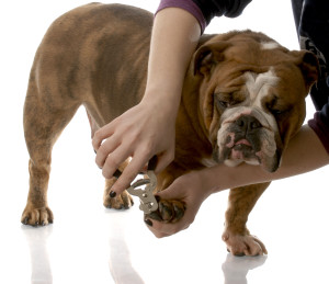 Long nails hurt the paws and can change the way a dog will walk and modify the angles of bones in the foot/leg while standing or walking. This leads to joint pain and arthritis whenever pressure is applied. Long toe nails can change the normal alignment of leg bones. Image-nwaschoolfordogs.com