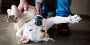 Almost all most dogs like to be scratched on their tummies and in case it is not enjoying, it will simply move away. Image: http://www.huffingtonpost.in/