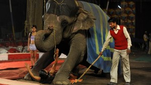 In spite of a 2013 ban on the use of elephants, the animal was still found to be used in some circuses and the operators to save their face came up with a fake story stating that the elephants were used only for educational purposes. These elephants when rescued could not even move due to injuries they received during training and while being extensively chained. Image - asiancorrespondent.com