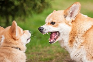 . Your female dog may also show aggression towards other female canines in the neighborhood during her outdoor trips in a bid to safeguard her rights/position. Image-trainthatpooch.com/