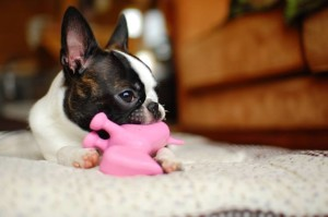 A smaller dog will require a toy that it will be able to fit/hold in its mouth. Observe what toys the dog enjoys most. Offering these will prevent it from directing its teeth on things you want to protect. An aggressive chewer will need toys that don't easily disintegrate. Don't make the mistake of giving the pet old shoes you don't use anymore to bite on. This will only confuse the pooch; it will not know a new pair of footwear from the old one. Image -belovedbark.com