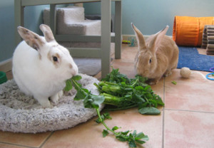 Washed green leafy herbs and vegetables must be given daily to the pet rabbit. Image-www.rnzspca.org.nz