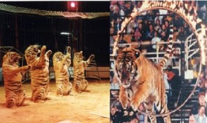 United Kingdom, Romania, Netherlands, Iran and a number of U.S cities have already passed laws banning the use of wild animals in circuses setting a precedent for others to follow. Image www.topnews.in