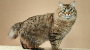 Bobtails originated in the US in the late 1960's. Image: http://www.catbreedselector.com/
