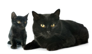 Bombay Cat Breed was developed in 1965 by Nikki Horner a breeder from Louisville, Kentucky. She wanted to create a breed of cat that looked like a miniature black panther. Image: http://cattime.com