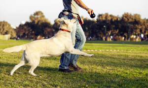 Play growling is absolutely normal. It is your pet dog's way of communicating to its human or canine playmate that it wants to continue playing a game that it enjoys a lot.  Therefore it isn't something you need to be concerned about. Image - 1stpip.com