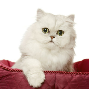 Persian cats are suitable for small apartments and require regular grooming, also immensely popular  in the USA and France too. Image: http://cattime.com