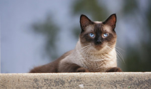 Siamese is a common cat breed in South East Asia and originated in Shanghai. Image: http://www.vetstreet.com/
