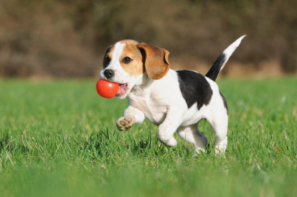 Healthy play and daily walks will divert the pooch from destructive chewing, digging and unnecessary barking.  image-www.thrivingcanine.com