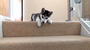 Climbing the steps may seem an uphill task to your pet pooch possibly due to a medical condition. But in some cases it could be simply behavioral issues at play for the fear. Image - Youtube.com