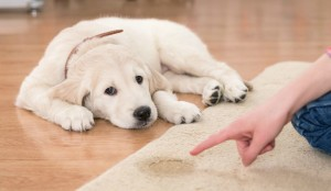 If you happen to take notice of the puppy eliminating in the house, clap  to let it know that this is unacceptable behavior. Then transport it outdoors and wait till it finishes doing its business. Reward the pooch once it's done. Image - ferndogtraining.com