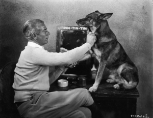 Rin tin tin was the breed's greatest star around the world. He too has a star on the Hollywood walk of Fame. Image - mentalfloss.com