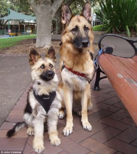 Three year old GSD named Tiger suffers Dwarfism