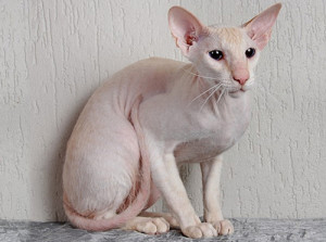 Country of origin: Russia. The Peterbald was created in St. Petersburg in 1994. Price range: $1,700 - $3,000 USD